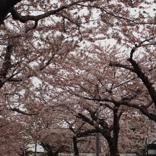 桜が開花_a0292194_20222342.jpg