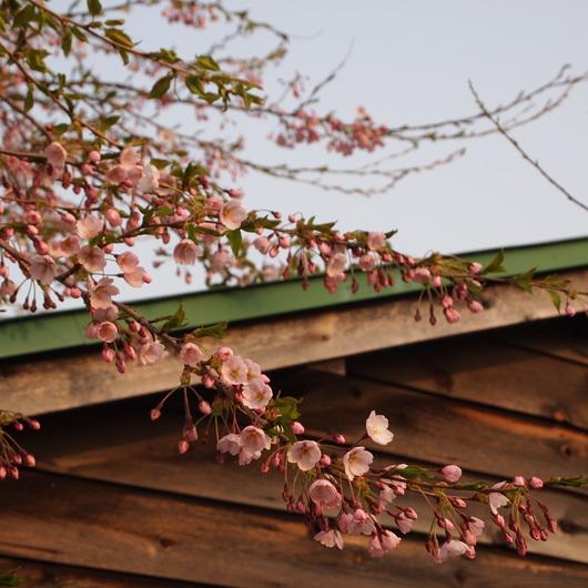 桜が開花_a0292194_20283848.jpg