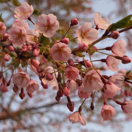 桜が開花_a0292194_20284829.jpg