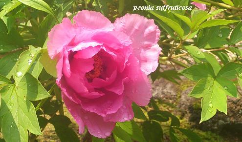 花鳥の美☆牡丹の癒し。_c0098807_19424914.jpg
