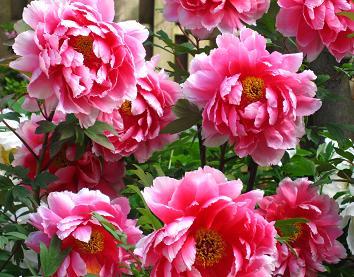 花鳥の美☆牡丹の癒し。_c0098807_2005781.jpg