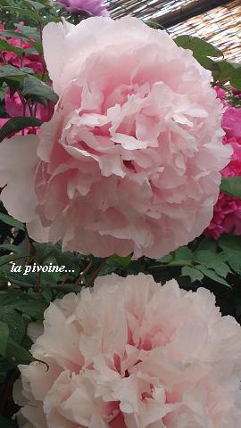 花鳥の美☆牡丹の癒し。_c0098807_20131942.jpg