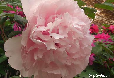 花鳥の美☆牡丹の癒し。_c0098807_20194598.jpg