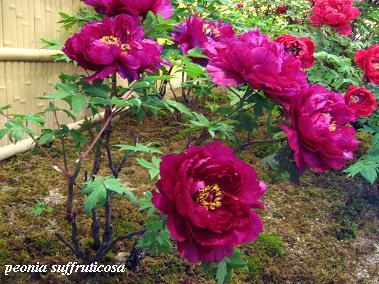 花鳥の美☆牡丹の癒し。_c0098807_20292368.jpg