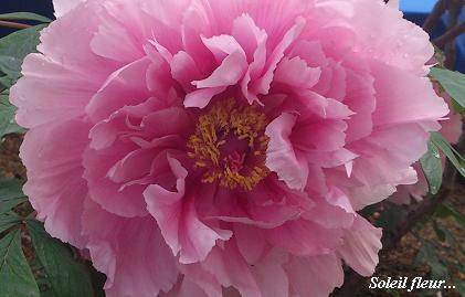 花鳥の美☆牡丹の癒し。_c0098807_2032476.jpg