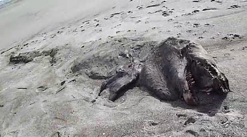 ニュージーランドに奇怪な巨大生物打ち上がる!?:シャチか恐竜か?_e0171614_12464725.jpg