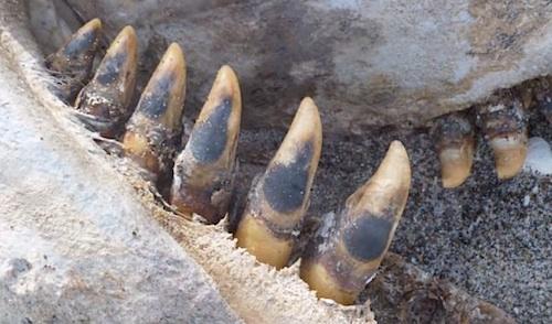 ニュージーランドに奇怪な巨大生物打ち上がる!?:シャチか恐竜か?_e0171614_12465138.jpg