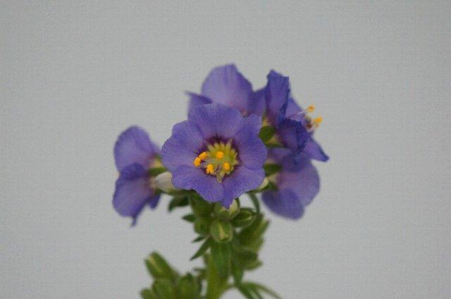 春の山草展にて、その4☆神代植物公園_a0122932_062153.jpg