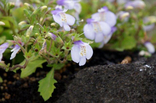 春の山草展にて、その4☆神代植物公園_a0122932_083095.jpg