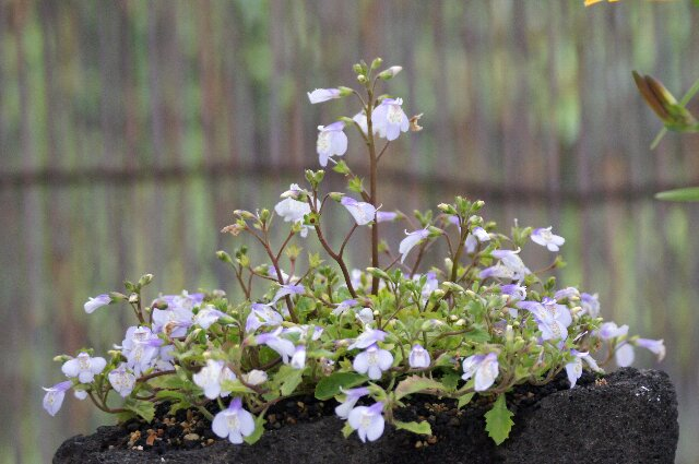 春の山草展にて、その4☆神代植物公園_a0122932_089100.jpg
