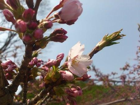 開花した五稜郭公園の桜_b0106766_2322748.jpg