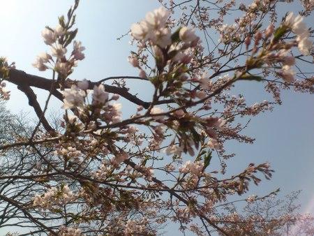 開花した五稜郭公園の桜_b0106766_232284.jpg