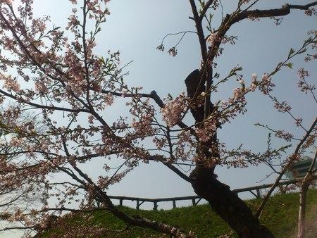 開花した五稜郭公園の桜_b0106766_2322855.jpg