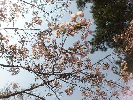 開花した五稜郭公園の桜_b0106766_2322882.jpg