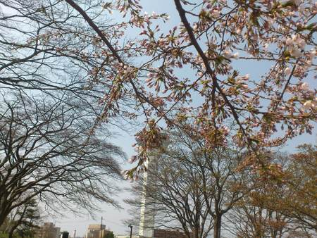 五稜郭公園から桜とタワー_b0106766_2361047.jpg