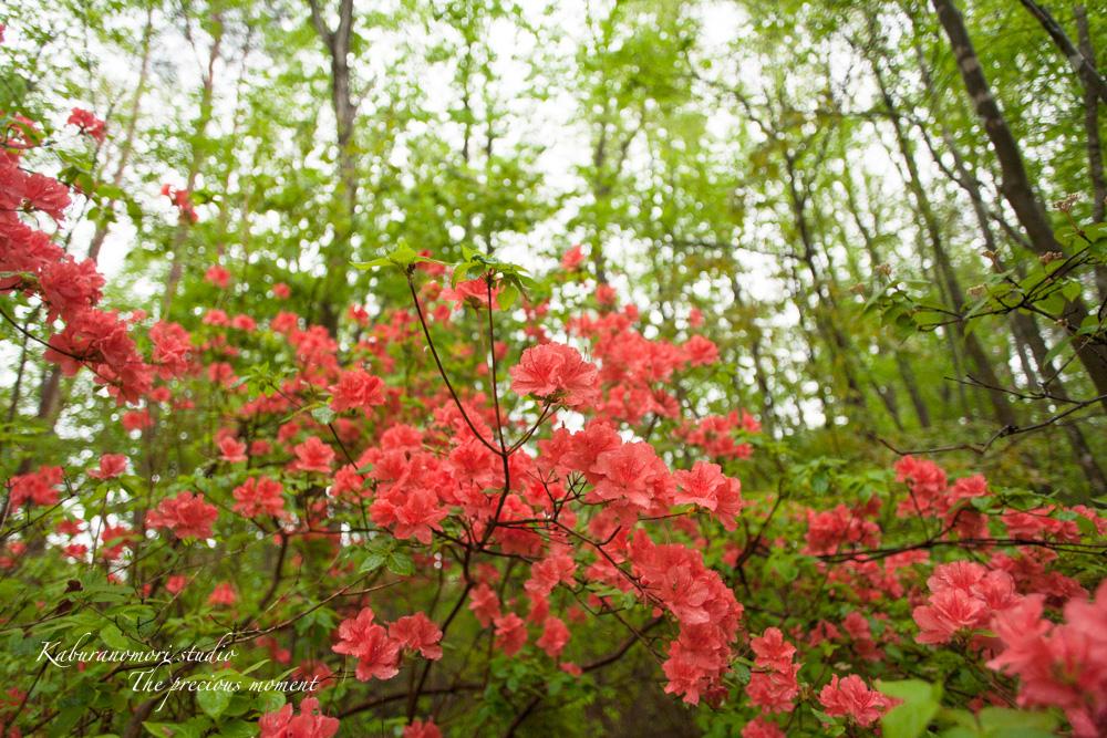 雨に潤う山ツツジ_c0137403_1891859.jpg