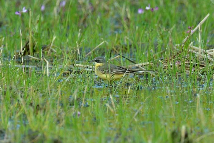 ツメナガセキレイ(Yellow wagtail)〜2013.05_b0148352_18252498.jpg