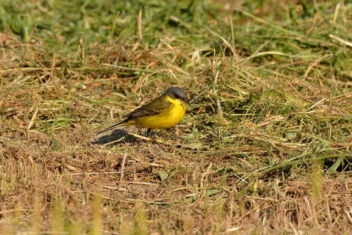 ツメナガセキレイ(Yellow wagtail)〜2013.05_b0148352_18253861.jpg