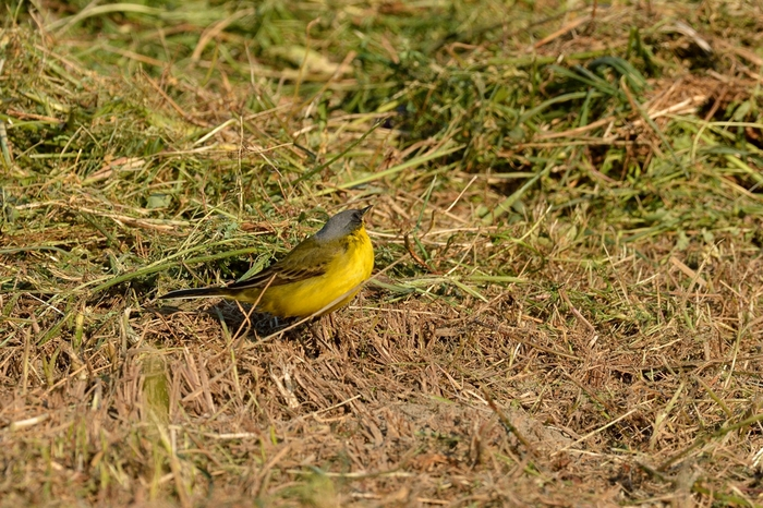 ツメナガセキレイ(Yellow wagtail)〜2013.05_b0148352_1825467.jpg