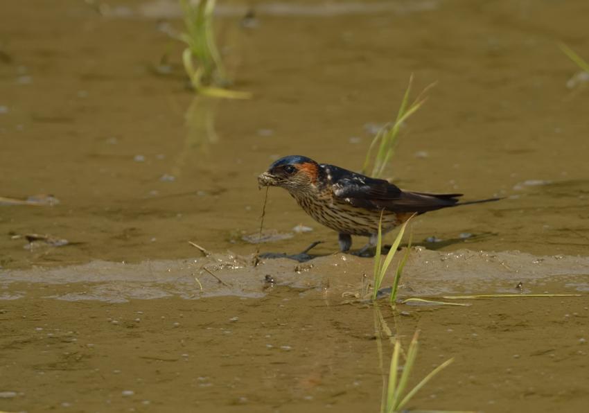 コシアカツバメ(Red-rumped Swallow)〜2013.05_b0148352_21164582.jpg