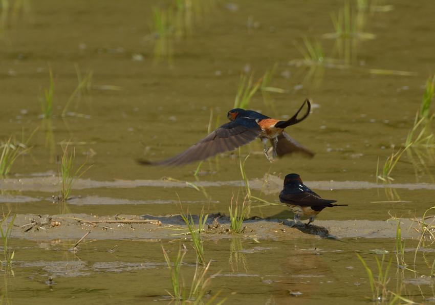 コシアカツバメ(Red-rumped Swallow)〜2013.05_b0148352_21191566.jpg