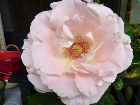 ピンクの薔薇_c0177195_13111349.jpg