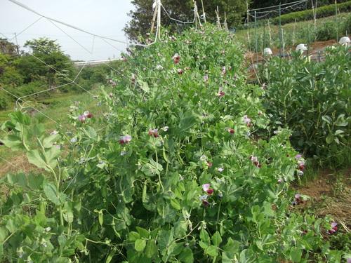 """""""まめ祭り""""が始まり、.....収穫で多忙です。_b0137932_2012739.jpg"""