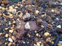 今年もオカワカメの栽培を始めました_f0108133_2348390.jpg
