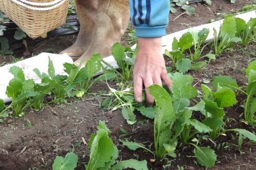 間引きカブの葉でサラダ、シューマイ、ポタージュ。_c0110869_22543727.jpg