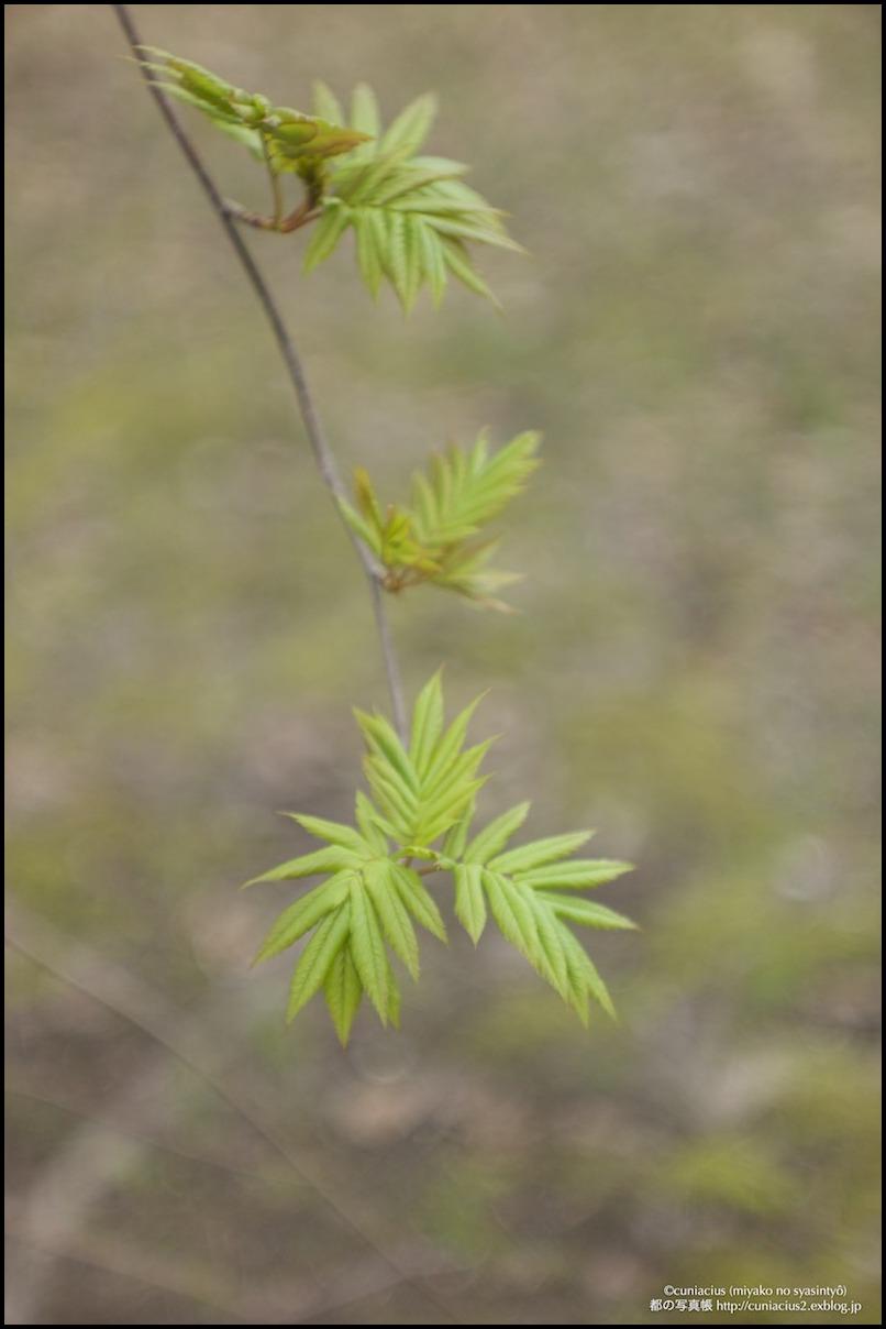 木々の芽吹き_f0042194_7564350.jpg
