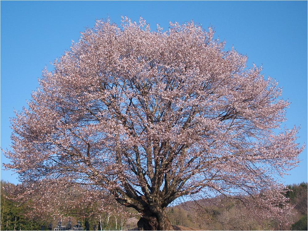 桜 フィナーレ_e0031502_17445080.jpg