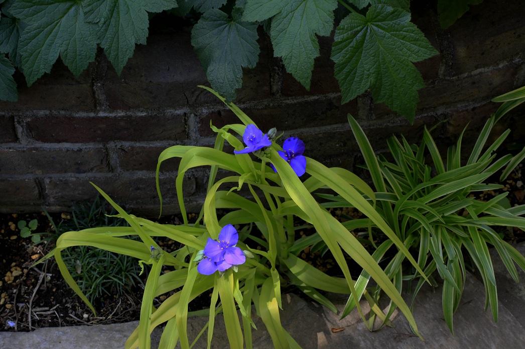 木陰では青い花が。。。_a0107574_18291714.jpg