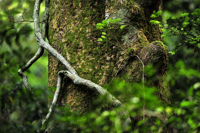 五十鈴川、源流の夏!大樹、針葉樹。照葉樹などなど。_b0169522_7484872.jpg