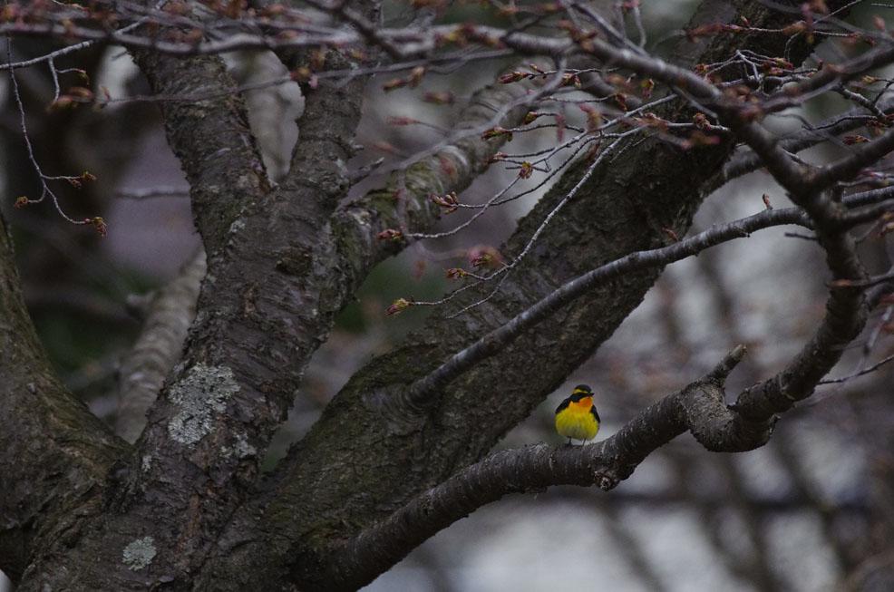 つぼみの木々に彩り_f0152939_20123122.jpg