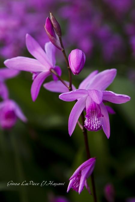 花のある風景 妖艶シラン_b0133053_1111464.jpg