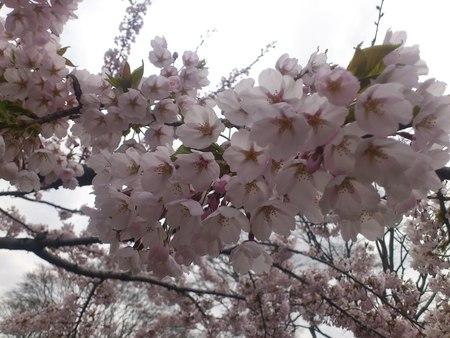 満開の桜_b0106766_23264212.jpg