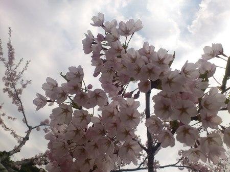 満開の桜_b0106766_23264278.jpg