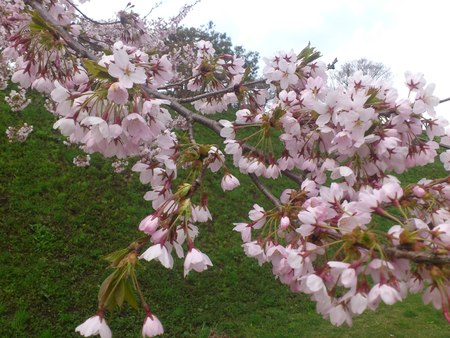 満開の桜_b0106766_23264346.jpg