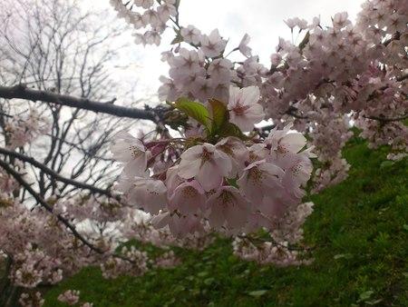 満開の桜_b0106766_23264383.jpg