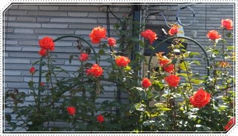 M邸の薔薇_b0214473_1754599.jpg