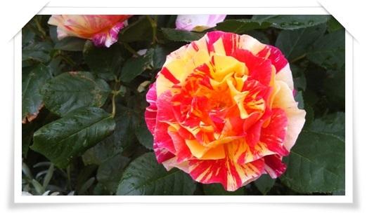 M邸の薔薇_b0214473_17562421.jpg