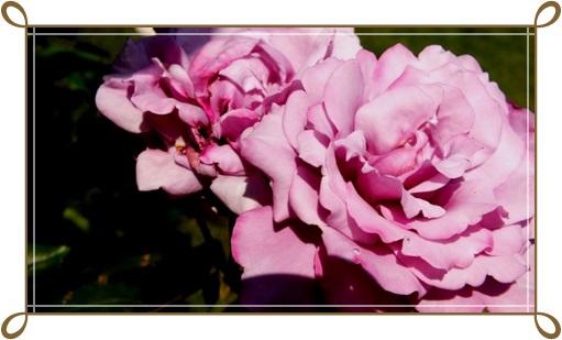 M邸の薔薇_b0214473_17563911.jpg