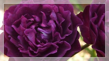 M邸の薔薇_b0214473_17573854.jpg