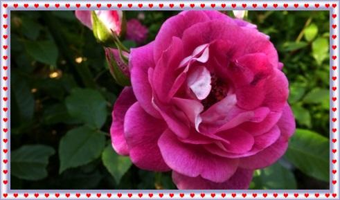 M邸の薔薇_b0214473_17575789.jpg