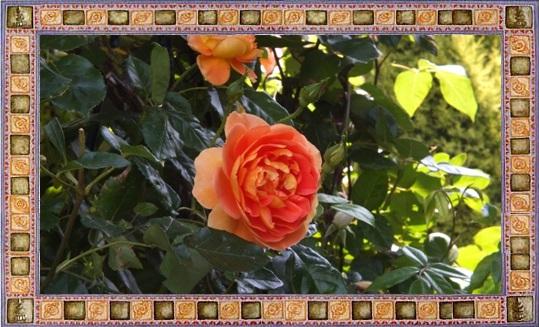 M邸の薔薇_b0214473_17582063.jpg