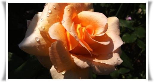 M邸の薔薇_b0214473_1758364.jpg