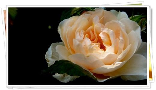 M邸の薔薇_b0214473_17585721.jpg