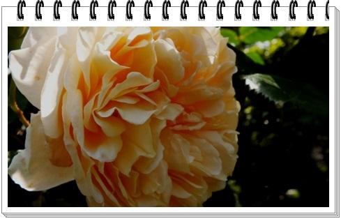M邸の薔薇_b0214473_1759896.jpg