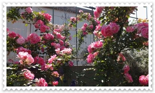 M邸の薔薇_b0214473_20533356.jpg