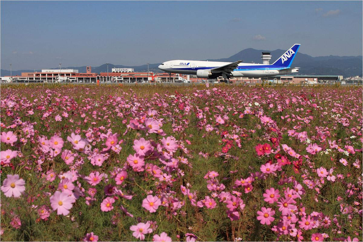コスモス - 長崎空港_c0308259_2321714.jpg
